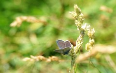 Cupido minimus (SteveJM2009) Tags: cupidominimus smallblue butterfly dof focus grasses markings sun light bokeh durlston dorset uk july 2016 summer stevemaskell naturethroughthelens