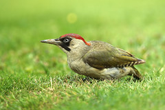 European Green Woodpecker  Picus viridis (Roger Wasley) Tags: european greenwoodpecker picusviridis gretton gloucestershire birds britain british