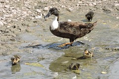 Mallard and ducklings (deannewildsmith) Tags: earthnaturelife