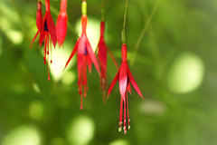 Christmas in July (charhedman) Tags: fuchsia flowers green red christmas ornaments macro bokeh light