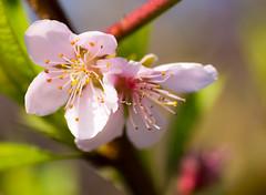 Blossoms (Szutkoski) Tags: flower earlyspring peach