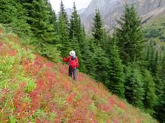 Mt Hood Summit Scramble - Larry amongs the Fireweed, in full autumn colour (benlarhome) Tags: kananaskis alberta canada mthood mounthood summit gipfel peak rockies rockymountain mountain gebirge montagne trail path route scramble scrambling hike hiking trek trekking