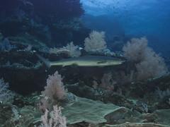 Tiburn de Arrecife de Punta Blanca - Isla Daharat Abid  (Sudan - Red Sea) (JuanAnd-erwater) Tags: seleccionar