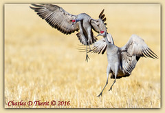 Arrival of the Sandhill Cranes (ctofcsco) Tags: 20x 2x 7d 7dclassic 7dmark1 7dmarki action canon colorado cranes ef400mm ef400mmf28liiusm ef400mmf28liiusm20x 2015 2016 alamosa birds explore explored geo:lat=3745997671 geo:lon=10614014486 geotagged image landscape migration montevista nationalwildliferefuge northamerica photo photograph picture spring telephoto wildlife zinzer extender extender2x montevistanwr nature sanluisvalley sandhillcrane sandhillcranefestival supertelephoto teleconverter unitedstates usa wwwmvcranefestorg animal bird f56 800mm 11250s iso100
