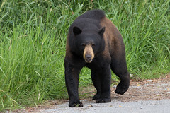Bear lessons (Maja's Photography) Tags: bear animals wildlife nature conservation portrait canon bc blackbear critters