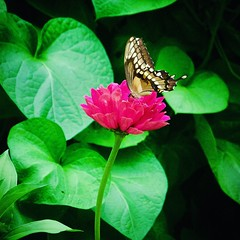 Butterfly in the zinnias (thechelseagrin) Tags: kalamazoo michigan butterfly flowers zinnia nature