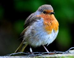Robin poses. (pstone646) Tags: bird nature wildlife kent sevenoaks animal closeup ringed colour fauna robin