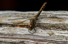 Ins-80.jpg (Dragonfly) (luc_pic) Tags: d500 brown driftwood nature dragonfly insect