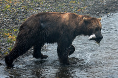 Lunch @ Brooks Falls (Cisc Pics) Tags: brooksfalls katmai nationalpark alaska bear grizzly brownbear ursusarctos rain salmon nature wildlife natural nikon nikkor d7000 dx 80400mm specanimal specanimalphotooftheday