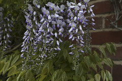 Purple wisteria flowers in late spring (Four Seasons Garden) Tags: four seasons garden uk england west midlands walsall spring 2016