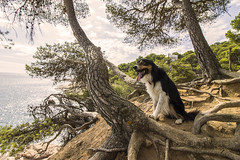 Happy dog (bernat.rv) Tags: dog perro happy feliz border coli pine pino mar sea breathing respirando lengua tongue