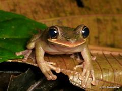 Ecuador slender-legged tree frog, Osteocephalus verruciger (Ecuador Megadiverso) Tags: andreaskay ecuador amazon amphibian anura ecuadorslenderleggedtreefrog frog hylaorcesi hylariopastazae hylidae osteocephalusverruciger rainforest reservaecologicatamandua