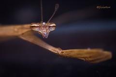 Louva-a-deus (@fisiotur) Tags: 100mm macro naturaleza nature natureza canon garden gardening insects insekten insetos jardinagem jardins makro zoology biology zoologia biologia fauna bichos animals animais brasil brazil