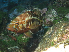 Blacktail Comber (roger_forster) Tags: blacktailcomber serranusatricauda horta faial azores underwater diving scuba fish algae flash