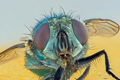 The Fly (hyponeros) Tags: mouche macro focus stacking helicon fly