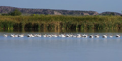 American White Pelicans. Bosque del Apache National Wildlife Refuge, New Mexico. (cbrozek21) Tags: pelican whitepelican americanwhitepelican pelicanflock bosquedelapache water pond bird waterbirds wildliferefuge