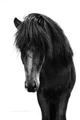 B&W Icelandic Horse (Ggja Einars..) Tags: horses horse black art animal mammal iceland unique coat fine equestrian fury scandinavian icelandichorse hestur icelandichorses equinephotography slenski ggja equinephotographer horsephotography horsephotographs gigjaeinarsdottir