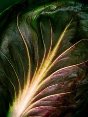 Vascular (Raggedjack1) Tags: redleaves redlettuce lettuceleaf