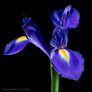 99/100 - Blue Iris