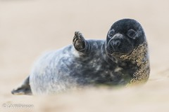 Waving Seal - BWPA Highly Commended (LAWilkinson) Tags: photography wildlife seal british awards waving highly 2014 commended bwpa
