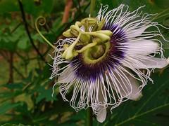 Passiflora (SM Tham) Tags: flowers gardens malaysia kuala lumpur jandabaik