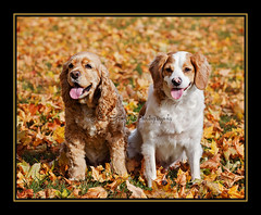 Sharing a Beautiful Day (Denise Trocio (D Trocio Photography)) Tags: autumn dog fall texture dogs leaves warm smiles buddy frame mixedbreed allrightsreserved luckycharm americancockerspaniel domesticanimal dtrociophotography