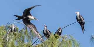 Great Frigatebird (mixed group)