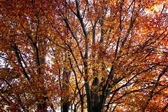 Arbres (BrigitteChanson) Tags: autumn trees alberi automne arboles arbres otoño autunno