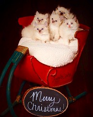 AngelGirls Christmas Kittens! Ragdolls in Virginia (AngelGirl Ragdolls) Tags: usa cats baby white cute beautiful true norway angel cat austin switzerland virginia washingtondc dc washington cool healthy kitten heaven babies texas forsale sweet tennessee unique gorgeous blueeyes famous longhair champion handsome kitty fluffy maryland kittens gatos best angels kitties stunning friendly lovely ragdolls rare respected babie ragdoll available eastcoast kittys snuggly parisfrance whitekitten tica cfa exceptional angelgirl ragdollkittens angelgirls angelgirlragdolls wwwangelgirlragdollscom angelgirlragdoll thebestragdolls thebestbreederofragdolls