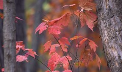 """...a more mauvy shade of pinky-russet"" (Violet aka vbd) Tags: pentax k3 vbd smcpentaxda55300mmf458ed ct connecticut leaves leaf fall newengland bokeh autumn fallcolor 2014 fall2014 trumbull bark oldminepark botanical foliage"