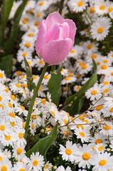 Injoying the Water (Jocey K) Tags: pink flowers newzealand christchurch spring tulips waterdroplets daisys monavale fendalton