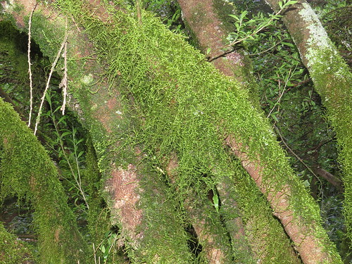 Moss on lakeside trunks