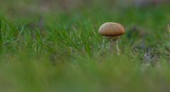 pestle... (markhortonphotography) Tags: macro mushroom canon surrey 100mm fungi fungus 7d toadstool f28 pirbright eos7d