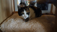 (ddsnet) Tags: travel cats japan cat sony  nippon neko   nihon   backpackers  nex   wakayamaken    mirrorless    newemountexperience nex7