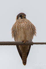 Female American Kestrel rests on a wire