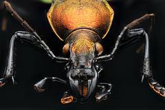 Coptolabrus smaragdinus mucdensis liaoning shengyang city china (Macroscopic Solutions) Tags: macro history museum natural beetle solutions macropod esa coleoptera macroscopic
