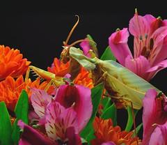 Idolomantis diabolica, mature male (_papilio) Tags: macro mantis nikon invertebrate canonmpe65mm papilio mantid arthropod diabolica idolomantis sigma150mmapo d800e