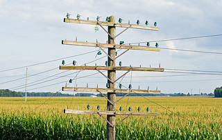 Old Defunct Pole Line in a Sea of Corn