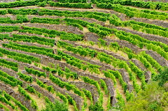 Ribeira Sacra - Galice - Espagne - 209 Canón do Sil - les vignes en terrasse (paspog) Tags: spain vines terrace terraces terrasse canyon galicia vineyards gorge gorges vignes vignoble espagne vigne sil spanien wein galice ribeirasacra terrasses weinen vignobles canón cultureenterrasses vignesenterrasse canóndosil