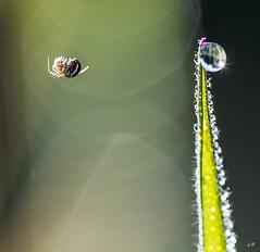 Araigne suspendue  son fil (5). (gille33) Tags: macro nature insect drops waterdrop web drop cobweb droplet waterdrops goutte insecte sigma150 nikond810 gillesremus