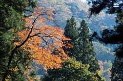 golden crown (Vin on the move) Tags: autumn fall leaves japan contrejour