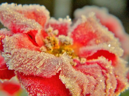 sugar sugar flower