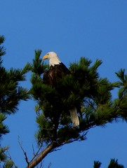 Majesic Eagle (hopefloats17) Tags: flowers winter summer signs fall love ice beach church nature water birds animals angel clouds landscape photography hope frozen spring amazing woods scenery rocks waves peace wind contemporary wildlife sunsets grace spirituality inspirational seabirds wellness empowerment uplifting