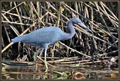 Little Boy Blue (WanaM3) Tags: park bird heron nature water nikon texas wildlife pasadena canoeing paddling littleblueheron lbh bayareapark clearlakecity armandbayou d7100 wanam3 nikond7100