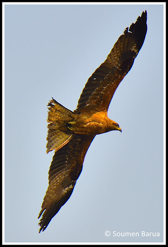 Common Buzzard-02