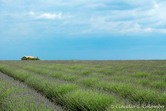 Field of Lavender at Valensole (Provence) (clodio61) Tags: blue summer sky panorama plant flower color building nature field june horizontal rural french landscape photography europe day exterior natural outdoor horizon country scenic meadow lavender sunny nobody row panoramic plantation land agriculture cultivation valensole provencealpescotedazur naturallandmark