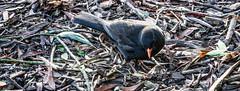 BLACKBIRD FEEDING IN LOCAL PARK REF-101098 (infomatique) Tags: ireland dublin black bird nature feeding blackbird streetsofdublin infomatique photographedbywilliammurphy natureinfomatique