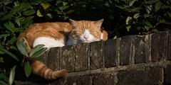 Cat Nap [Explored] (cuppyuppycake) Tags: sleeping pet brick animal wall cat ginger nikon nap outdoor tired herbie d7200