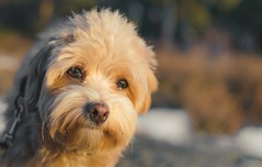 Lost in thoughts (Naetrogen) Tags: dog puppy bichonhavanais havanese bokeh nature sunshine sunset spring portrait outdoor forest travelling europe love family