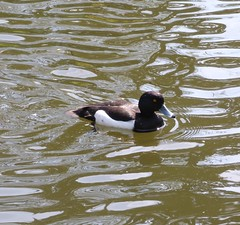 Tufted duck (Martellotower) Tags: park duck scarborough tufted peasholm